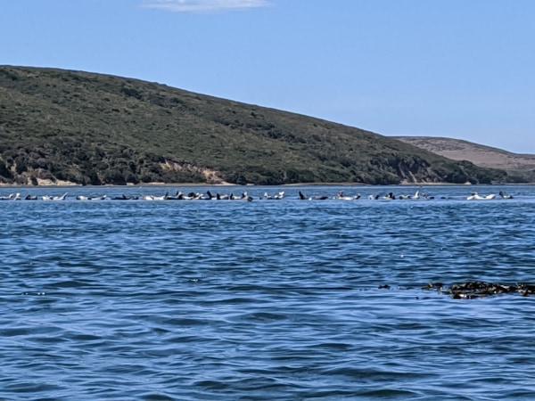 Seals Drakes Estero